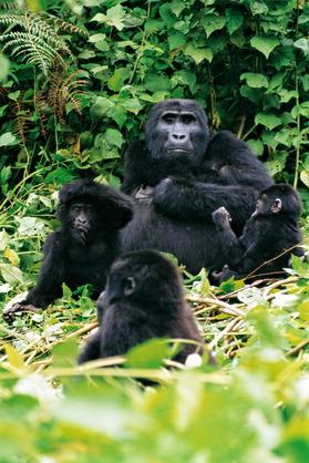 Zdjęcia nagich goryli