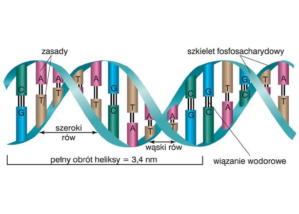 Watsona Cricka Model Dna Encyklopedia Pwn Zrodlo Wiarygodnej I