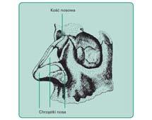 Rusztowanie kostno-chrzęstne zewnętrznego.