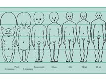 Względne proporcje głowy, tułowia i kończyn w różnych latach życia