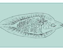 Motylica wątrobowa (wg R. Kadłubowskiego)