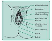 Zewnętrzne narządy płciowe