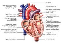 Serce w przekroju