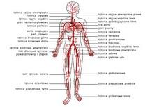 Układ tętniczy