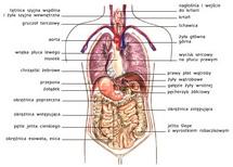 Trzewia szyi, klatki piersiowej i jamy brzusznej