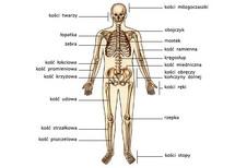 Układ kostny, widok od przodu