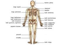 Układ kostny, widok od tyłu