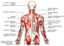 Układ mięśniowy, widok od tyłu