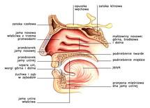 Jama nosowa i ustna — przekrój strzałkowy