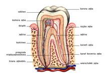 Budowa zęba na przekroju