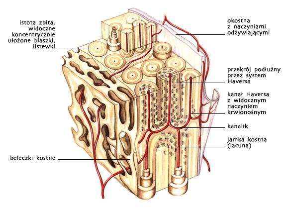 Kość — budowa mikroskopowa