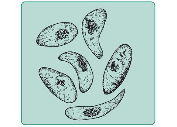 Pierwotniaki toksoplazmozowe (wg E. R. i G. A. Noble).