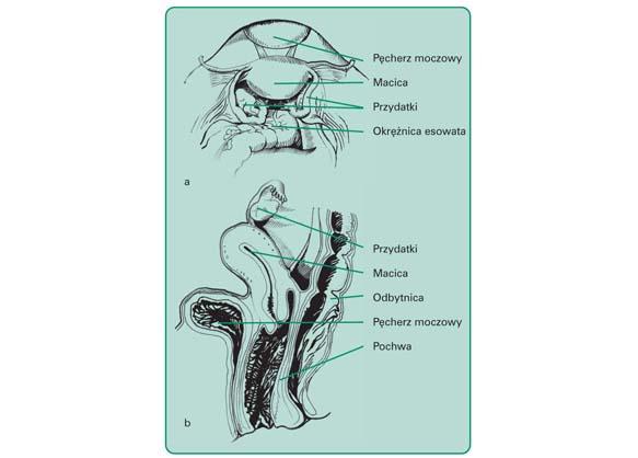 Wewnętrzne narządy płciowe