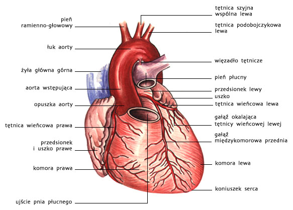 Serce — widok od przodu