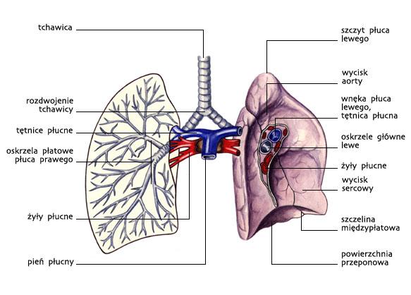 Układ oddechowy — budowa makroskopowa