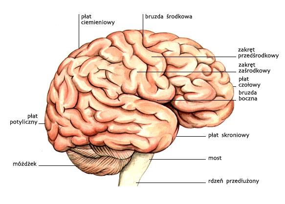 Mózgowie — widziane z boku