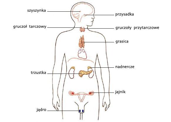 Układ endokrynologiczny