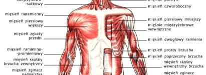 Układ mięśniowy, widok od przodu