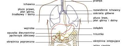 Układ oddechowy i trawienny